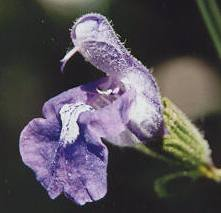 Salvia triloba: Three-lobed sage flower