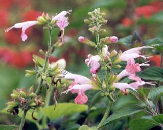 Salvia elegans: Lemon scented sage