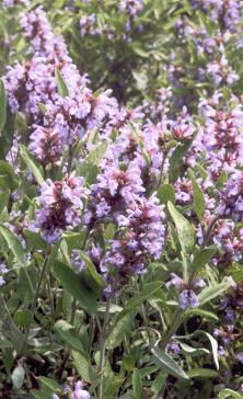 Salvia officinalis: Flowers of garden sage