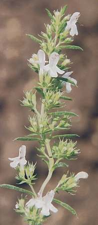 Satureja montana ssp. citriodora: Lemon-scented winter savory
