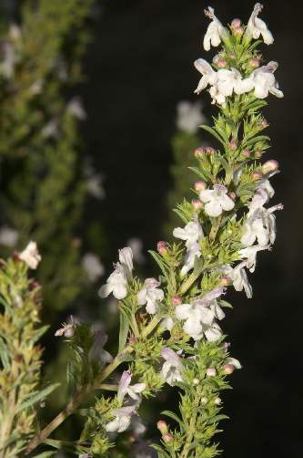 Satureja hortensis: Winter savory (inflorescence)