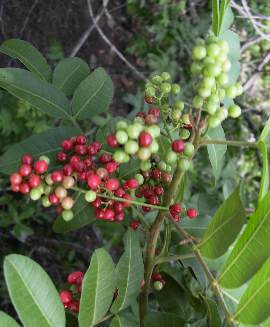 Schinus terebinthifolius: Brazil Pepper tree