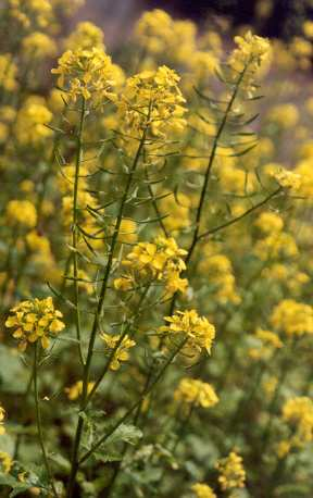 Sinapis alba: Flowering white mustard plants