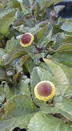Spilanthes oleracea: Flowering Toothache plant