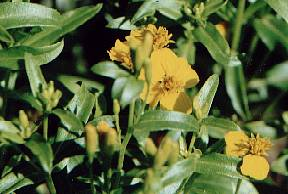 Tagetes lucida: Mexican tarragon (flowering plant)