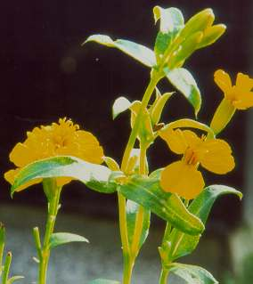 Tagetes lucida: Mexican tarragon (flower)