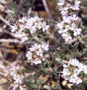 Thymus willdenowii: North African thyme