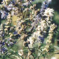Vitex agnus-castus: Chaste tree flowers