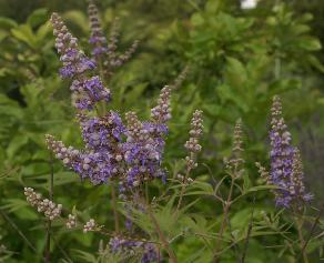 Vitex agnus-castus: Flowering chaste tree