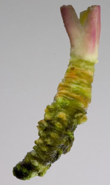 Wasabia japonica: Wasabi root